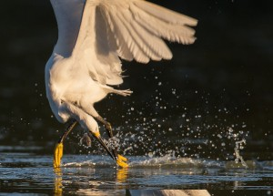 snowy-egret-16128